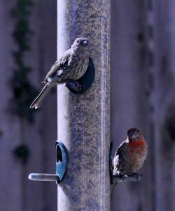 Bird_at_Feeder_3