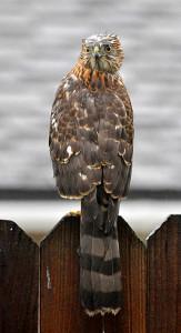 Our hawk on backyard fence