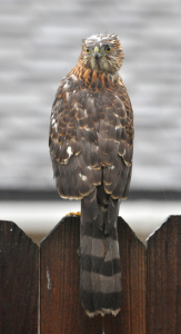 Backyard Hawk with head turned 180°.