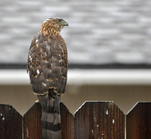 Backyard Hawk on fence.