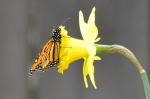 Photography - Butterfly and Daffodil